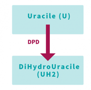 L'enzyme DPD transforme l'uracile en dihydrouracile - roseup association, face aux cancers osons la vie