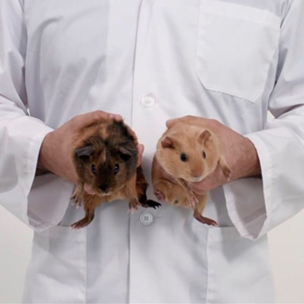 Les Cuys @Campagne Canadienne : l'examen des bourses par la manipulation de cochons d'Inde péruviens appelée Cuys, prononcés Couilles