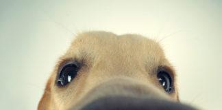 les chiens renifleurs de tumeurs RoseUp Association Face aux cancers osons la vie