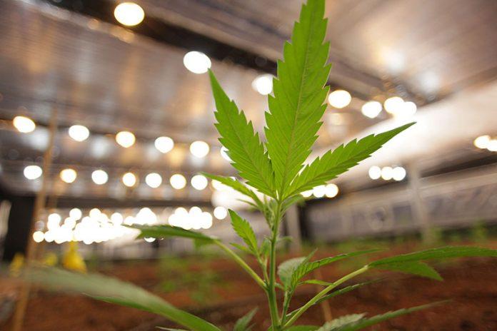 Cannabis thérapeutique RoseUp Association Face aux cancers osons la vie