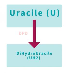 Quand l'enzyme DPD fonctionne mal, l'uracile s'accumule au détriment du dihydrouracile