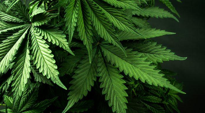 cannabis-therapeutique-rosemagazine-roseupassociation